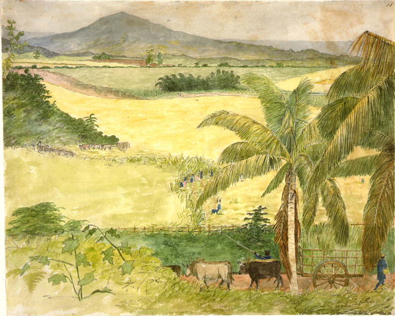 This watercolour shows plantation sugar fields with slaves in the center cutting and loading the cane onto ox-carts for transport to the sugar mill. William Berryman was an English artist who lived in Jamaica for eight years between 1808 and 1816. He produced about 300 pencil drawings and watercolour of people, landscape, settlements, and flora in the island's southern parishes and the general region surrounding Kingston. Several other Berryman works are reproduced in T. Barringer, G. Forrester, B. Martinez-Ruiz, et al., Art and Emancipation in Jamaica: Isaac Mendes Belisario and his Worlds (New Haven: Yale Center for British Art in association with Yale University Press, 2007).